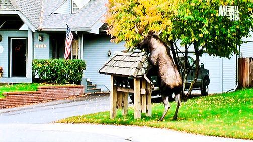 moose_humping_mailbox